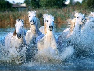 chevauxcamargue